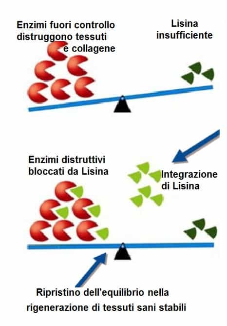 L-lisina controlla attività in eccesso di enzimi che distruggono i tessuti