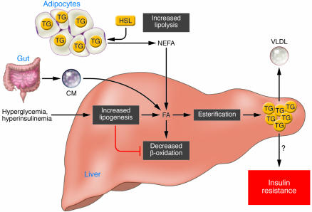 Come i carboidrati si trasformano in grasso corporeo