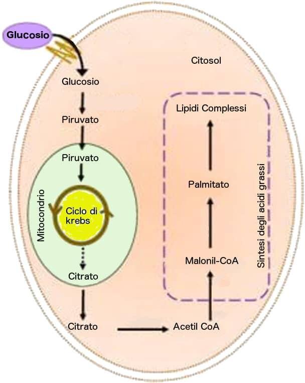 livelli di glucosio per la perdita di grasso