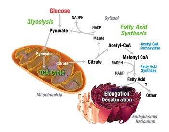 lipogenesi de novo grasso corporeo